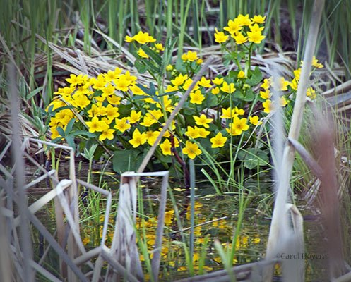 A stand of marsh marigolds found along a country road in northern Minnesota