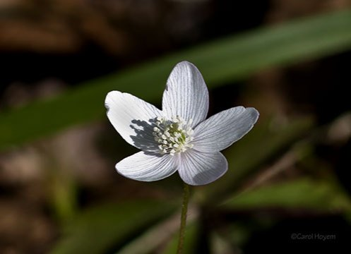 Single white wildflower, wood anemone