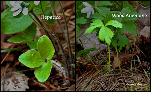 Comparison of the leaves and stems of heptatica and wood anemone