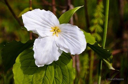 White trillium wildflower