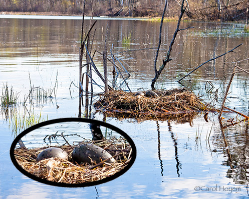 Loon Nest withTwo Eggs
