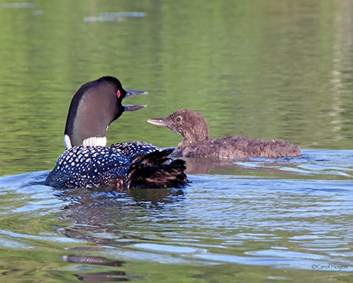 Adult loon and baby loon