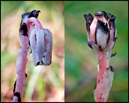 Two Indian Pipe wildflowers, one nodding and one upright