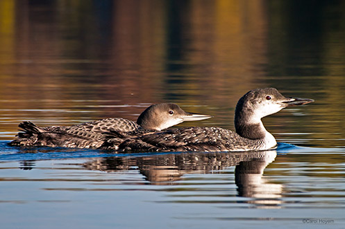Adult and juvenile loons with winter colors