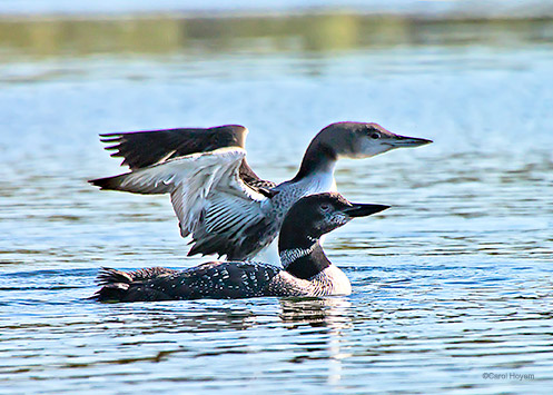 Two loons, one with wings spread