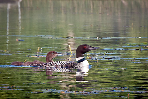 One month old loon and adult loon