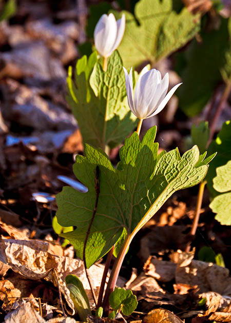 White wildflower closing its bloom