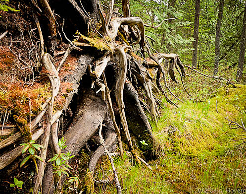 Toppled tree roots