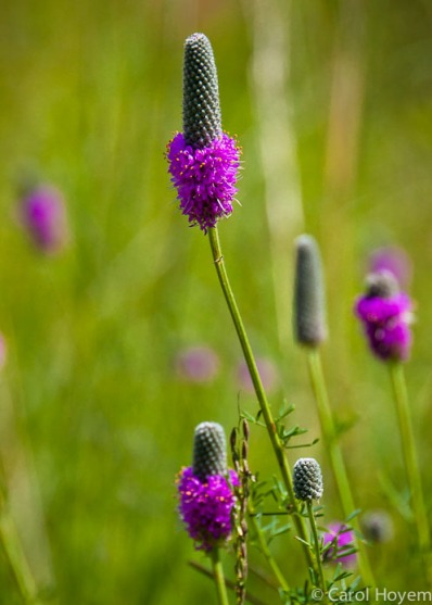 purple coned wildflower
