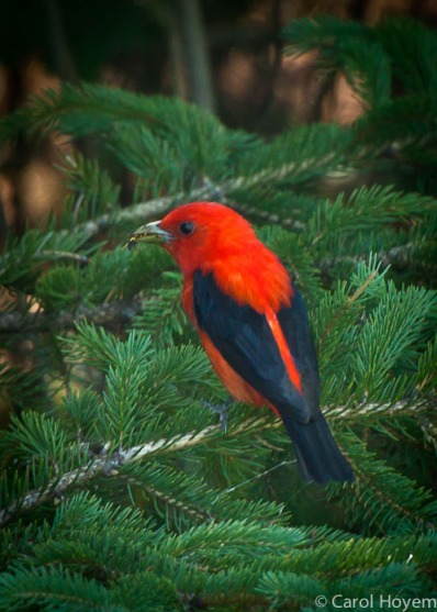 Red bird with black tail feathers