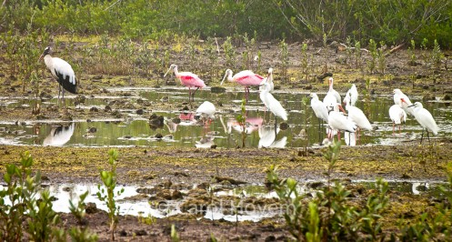Spoonbills with wood stork and other white birds