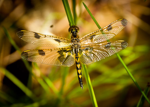 female calico pennant dragonfly