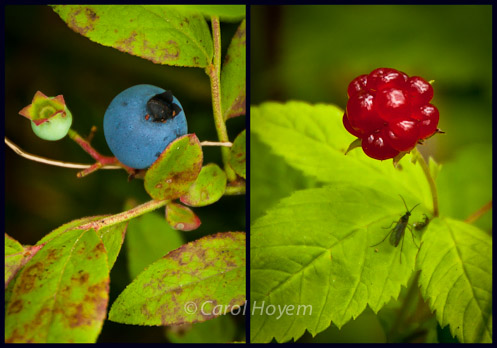 a blueberry and a raspberry with their leaves