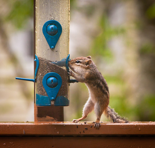 Chipmunk eating from thistle seed bird feeder