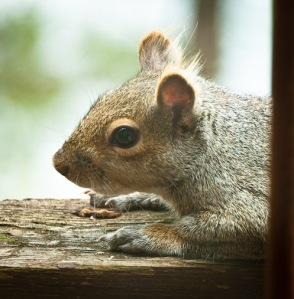 Side view of squirrel head