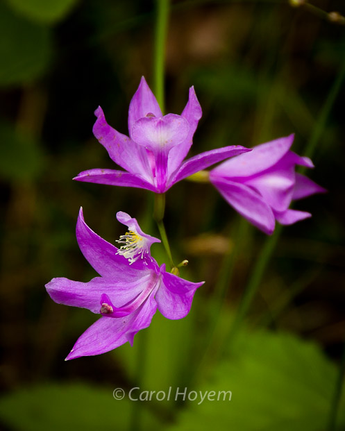 grass-pink wild orchid blooms