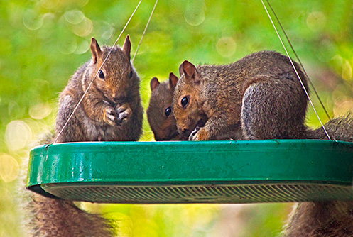 three squirrels eating birdseed