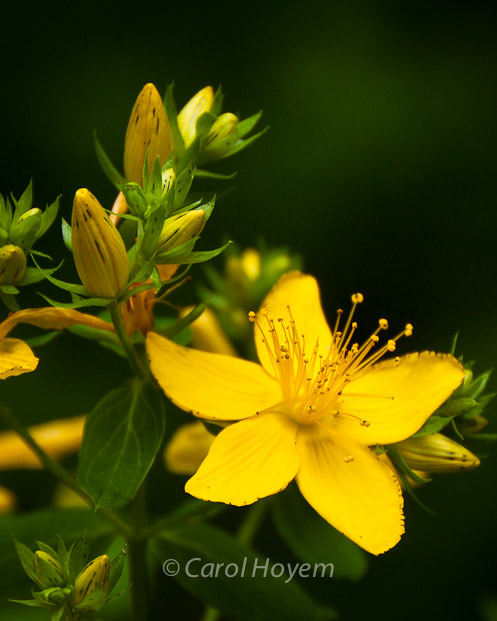 yellow wild flower used for depression