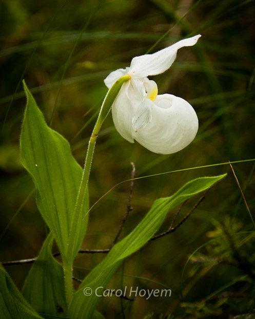 rare white form of showy lady slipper