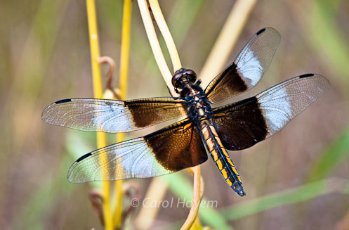 male widow skimmer dragonfly with black and white wings