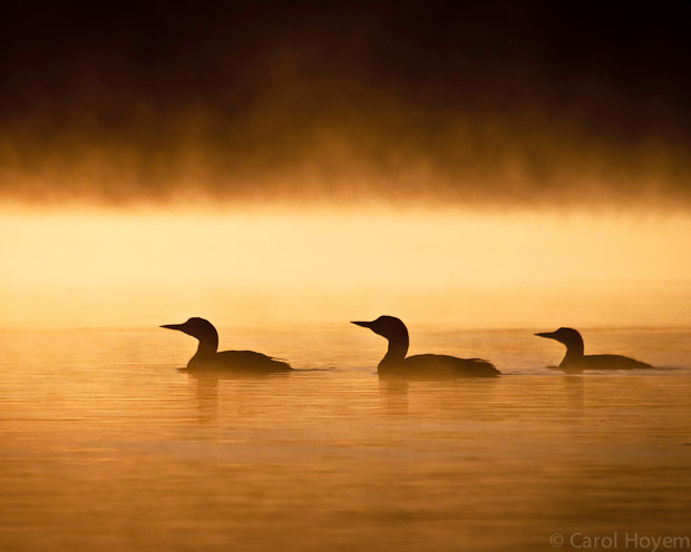 Loon family swimming in morning mist