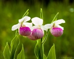 three pink and white flowers
