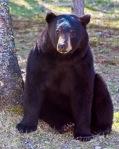 blackbear sitting by tree
