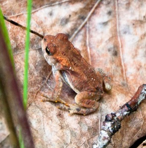reddish brown frog