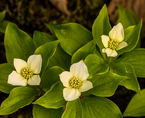 3 bunchberry blooms