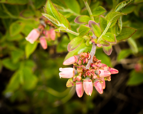 Pink flowers on blueberry plant.
