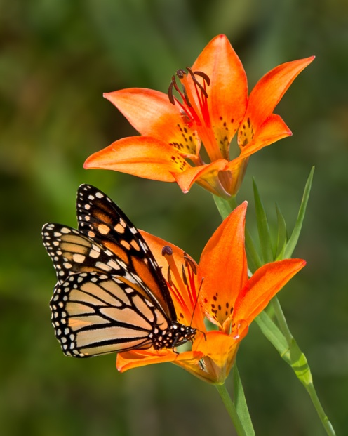 two orange lilies with a Monarch butterfly perched on one