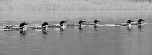 eight loons swimming in a row