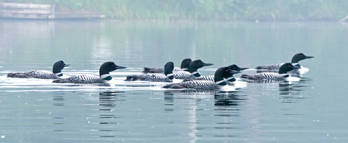 nine loons together on lake
