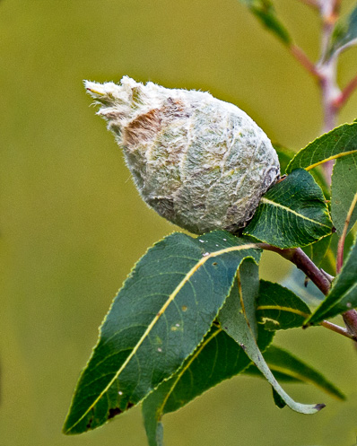 cone shaped seedpod