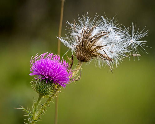 pink wildflower seedpod