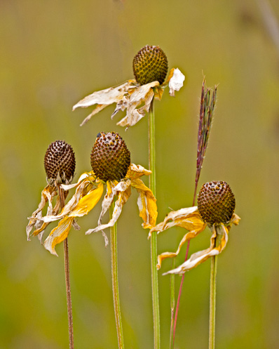dried up wildflower