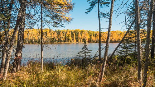 Lake Bemidji State Park's Big Bog Lake surrounded by fall color tamaracks