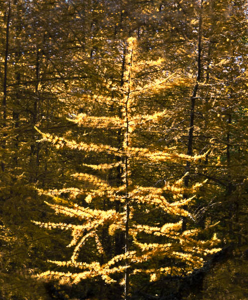 Sunlight on tamarack appears to make tree glow
