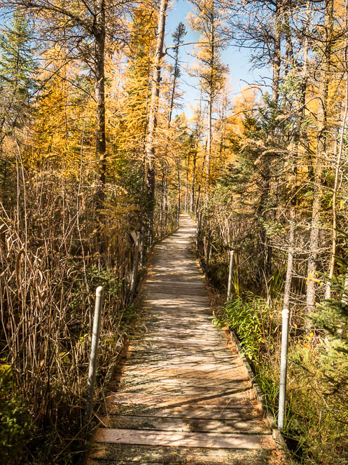 Fall colors of tamarack line boardwalk at Lake Bemidji State Park